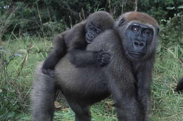 mother gorilla with a baby on her back