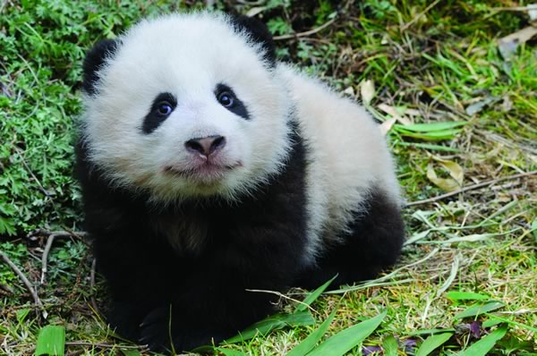 panda sitting in the grass