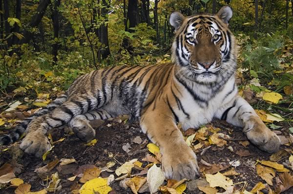 tiger lying in a forest